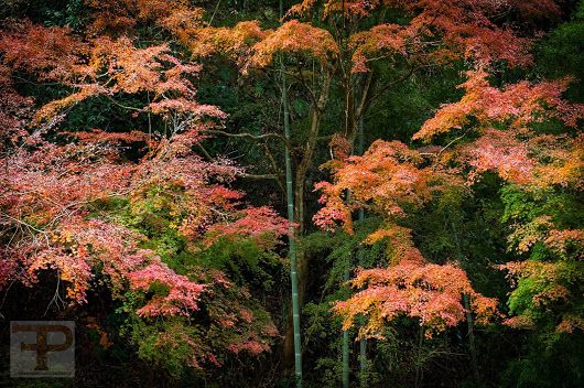 Autumn's bliss ##timfranklinphotography ##bambooforest ##chiba ##trekking ##o...