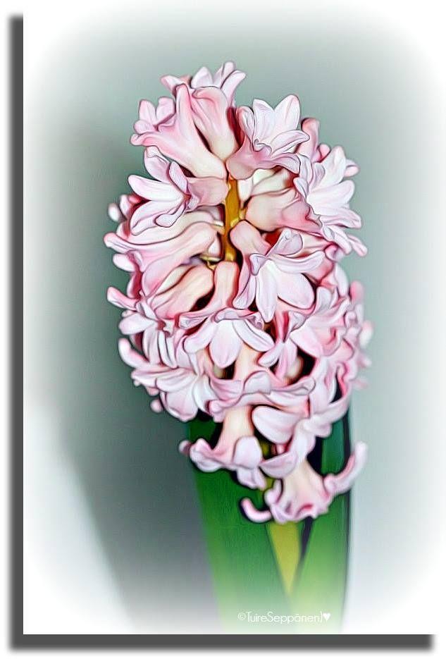 Hyasintti, hyacinth, Hyacinthus orientalis