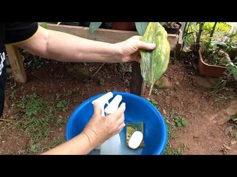 Controle de Cochonilha nas Orquídeas - YouTube