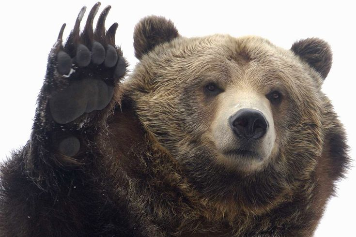images of grizzly bears | Grizzly bear Betty playfully waves to on-lookers at the Bronx Zoo in ...
