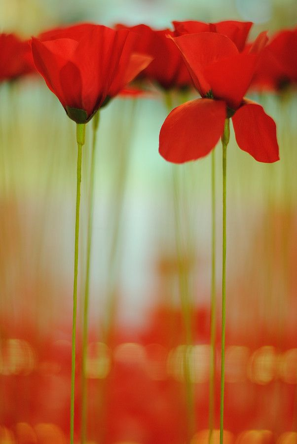 Poppies by selin barbulescu on 500px
