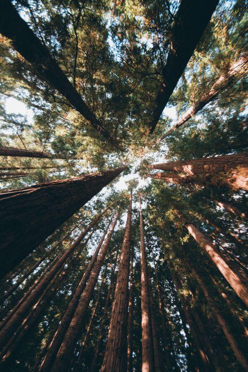 nightoesphere:  hullocolin:  East Warburton Redwood Forest...