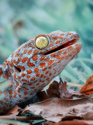 Gecko en Indonésie