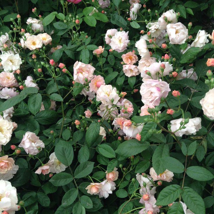 Cornelian hybrid musk rose (David Austin)