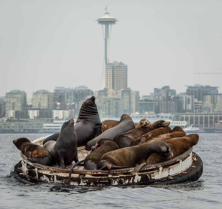 Sea lion cluster on a barge outside Seattle. :)