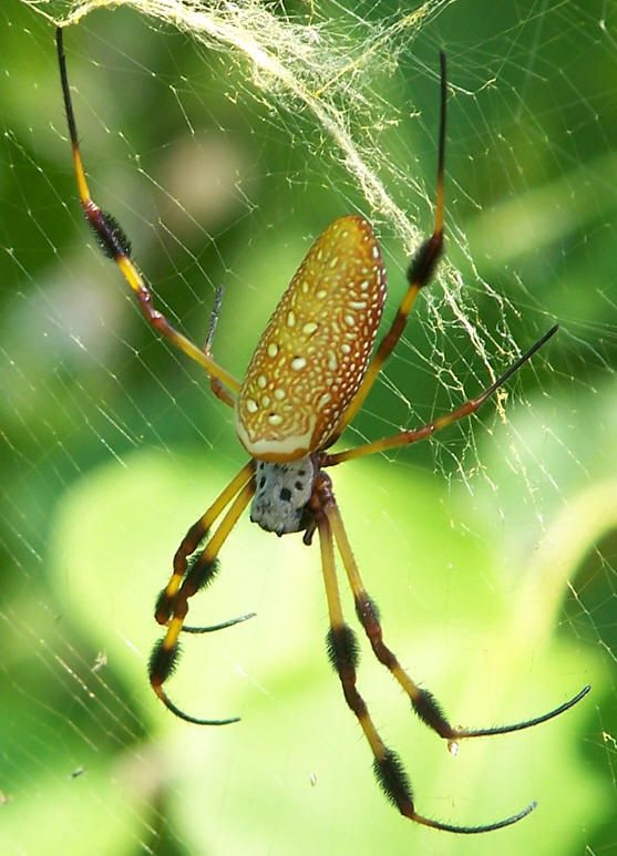 Golden silk spider (Nephila clavipes).