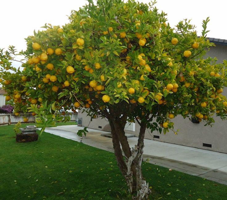 17 mejores ideas sobre jard n de rboles frutales en pinterest - Arboles para jardines pequenos ...