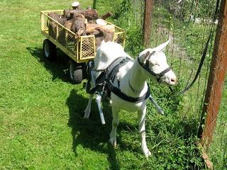 Goat Harness