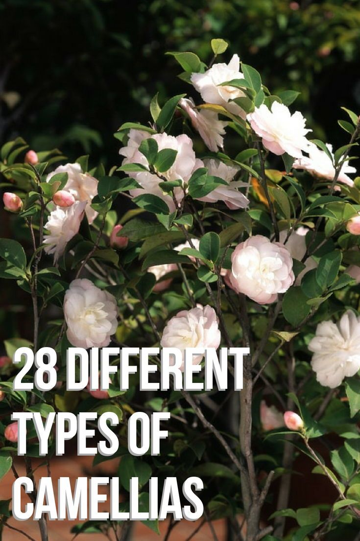 28 Different Types Of Camellias Camellia Camellia Flower Nature Garden