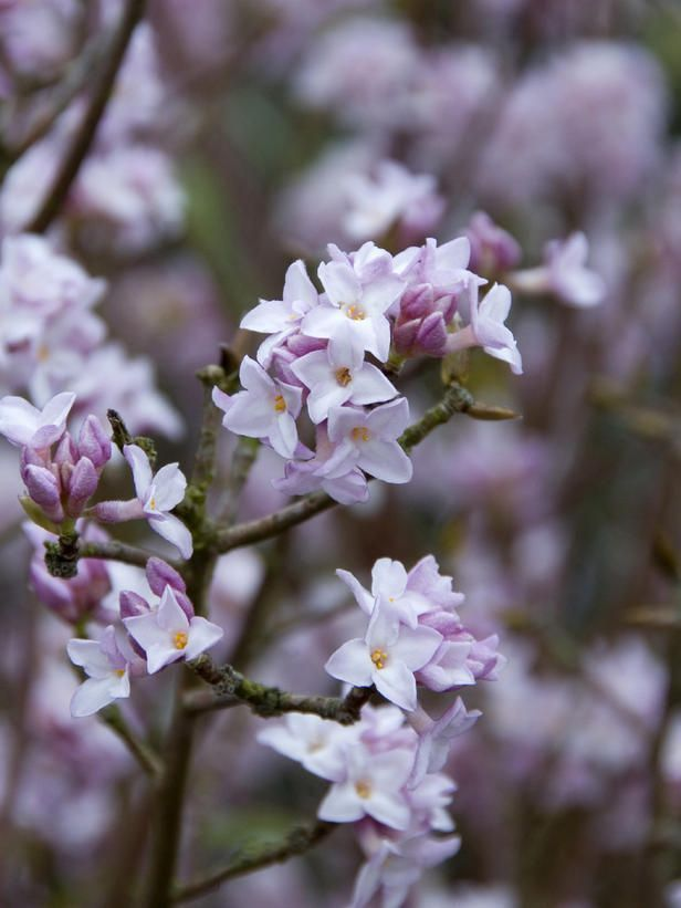 The ultra-fragrant flowers of many daphnes, including Daphne bholua 'Jacqueline Postill', appear in midwinter. 'Jacqueline Postill' is evergreen. USDA Zones 7 to 9. #winterflowergarden