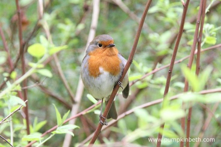 Robins, also known by their scientific name of Erithacus rubecula, are wonderful birds to see in your garden, or when you're out for a walk.