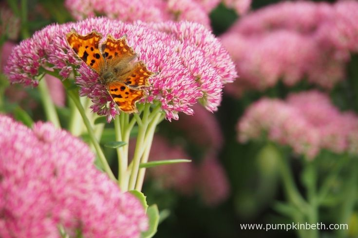 Polygonia c-album, also known as the Comma butterfly, feeding on Sedum in late summer.