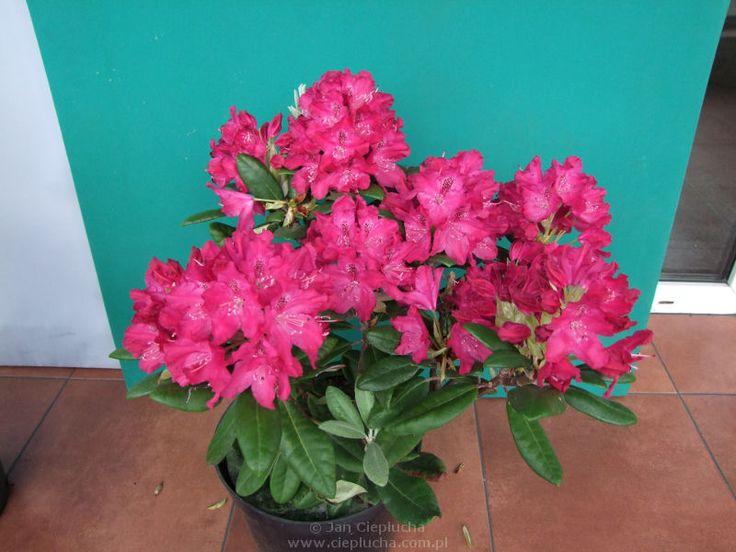 Zygmunt III Waza kwiaty o głębokiej, ciemnoróżowej barwie z brązowym oczkiem. Kwiatostany okrągłe. Rododendron Zygmunt III Waza to odmiana ceniona ze względu na ciekawy pokrój i wygląd liści,