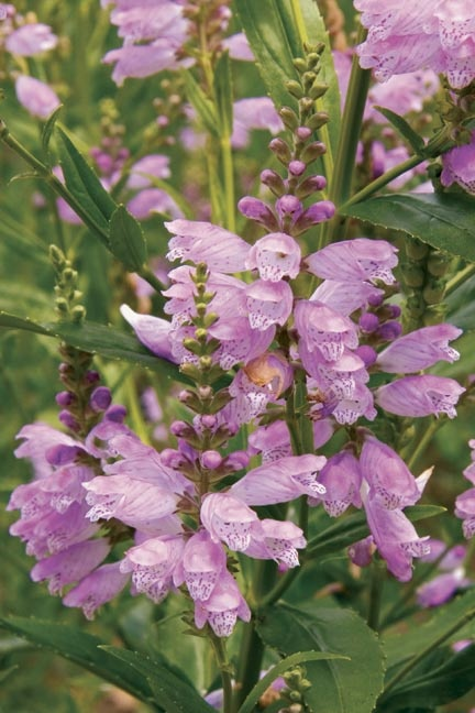 Physostegia virginiana Obedient Plant  Sun:Full   Soil:Sand,Loam,Clay   Moisture:Medium,Moist   Height:1'-2'   Bloom:Pink Aug-Sep  The Obediant Plant (Physostegia virginiana) makes a great groundcover for damp soils. This showy member of the mint family thrives in moist soil and creeps rapidly by rhizomes to keep weeds at bay. An excellent groundcover for wet areas that are difficult to mow, plant it with Great Blue Lobelia for a great late summer color combination. Hardy to Zones 3 - 9.