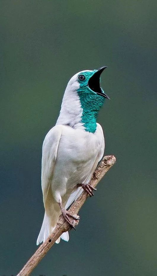 Exotic birds - Bare-throated Bellbird (Procnias nudicollis) - It is a species of bird in the Cotingidae family. It lives in Argentina, Brazil, and Paraguay.