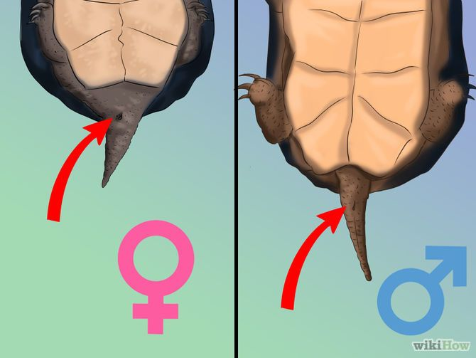 Tell If A Turtle Is Male Or Female  Handy Herp Help -6011