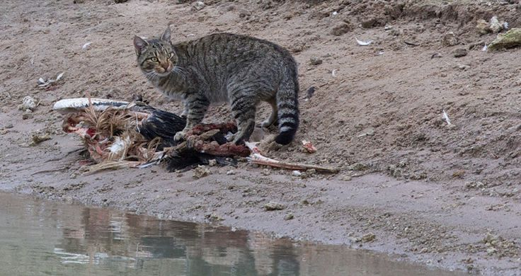 Verwilderte Katzen in Australien