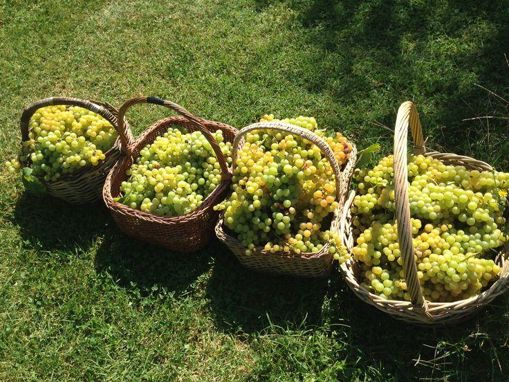 Profumo di vendemmia  #vendemmia #uva #vino #campagna #settembre #harvest #vineyard #grapes #wine #September #rimini #romagna #autunno #autumn
