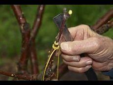 Самый простой и надежный способ прививки деревьев! Почти со 100% приживаемостью.