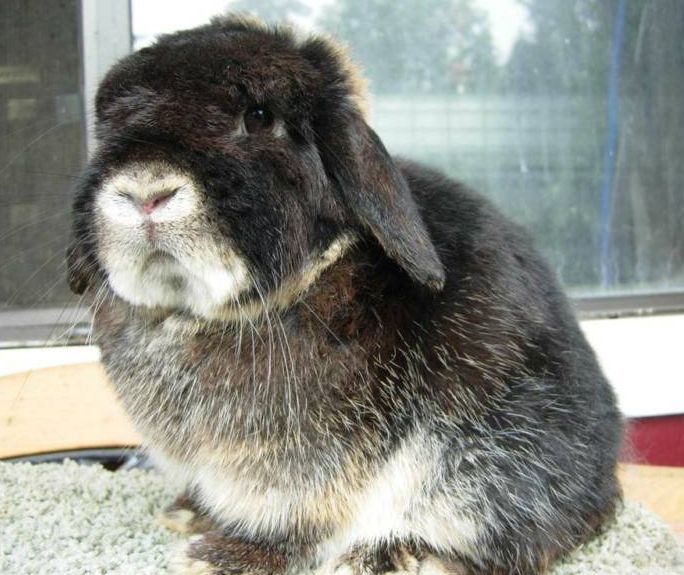 460 besten lola lamanruhani 39 s gallery bilder auf pinterest kaninchen hasen und hasenbabies. Black Bedroom Furniture Sets. Home Design Ideas