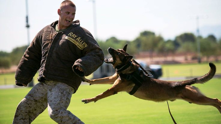Man's Best Friend  Sgt. Derek Patrick, a military working dog trainer from Marine Corps Base Camp Pendleton, demonstrates the capabilities of his military working dog at the fields behind the University of Phoenix Stadium at Glendale, Arizona, Sept. 11, 2015. The demonstration was part of Marine Week Phoenix, which allows the Marine Corps to showcase its traditions, history, and values. (U.S. Marine Corps photo by Sgt. Cuong Le/Released)
