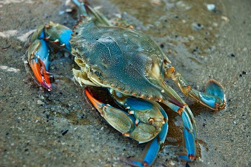 blue crab pictures images - Google Search