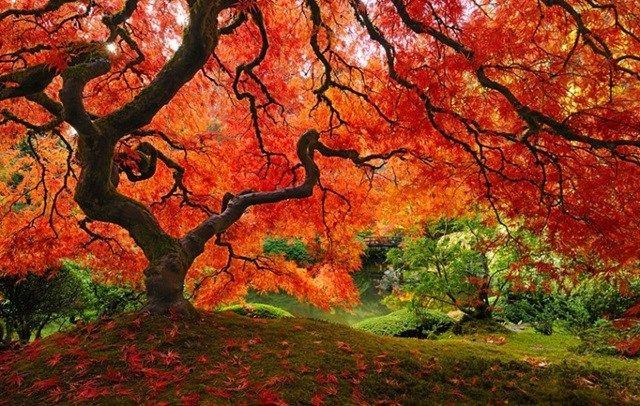 Esta é uma espécie de carvalho silvestre japonês e encontra-se em Portland, Oregon, nos Estados Unidos. Impressiona pelas cores.
