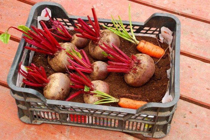 Ako uskladniť zeleninu v teplej pivnici?