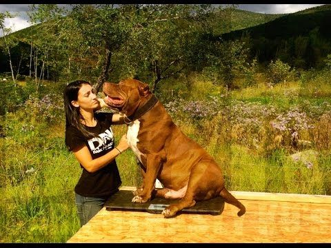 Best Hulk Images On Pinterest Board Couple And Pit Bull - Meet hulk possibly worlds biggest pitbull still growing