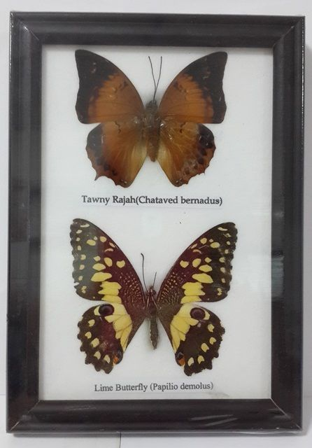BUTTERFLY FRAME RARE 2 REAL # 8 DECOR GIFT DISPLAY INSECTS TAXIDERMY COLLECTIBLE - http://collectibles.goshoppins.com/animals/butterfly-frame-rare-2-real-8-decor-gift-display-insects-taxidermy-collectible/