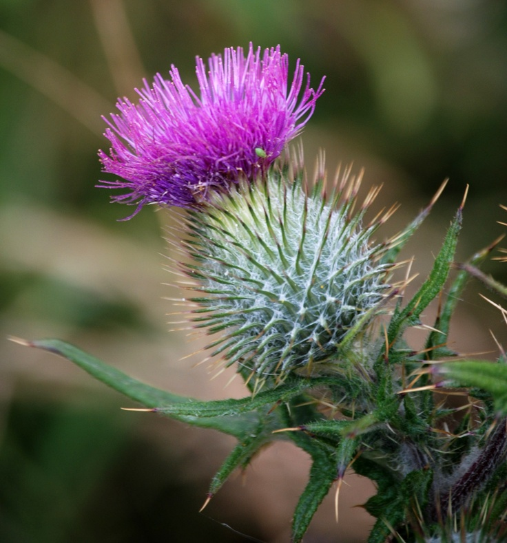 Oh Flower of Scotland Nature plants, Flowers, Flower garden