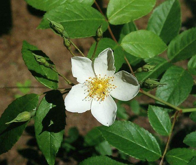 Rosa helenae 'Aksel Olsen' | Gammaldags klätterros, honungsros, med utsökt vackra, enkla, gulvita små blommor som doftar honung på långt håll. Engångsblommande. Vackra orangea små nypon på hösten. Utmärkt och robust klättrare. En mycket bra och uppskattad klätterros. 7 x 6 m. Zon 1-3. Uppkallad efter en sin rosförädlare.