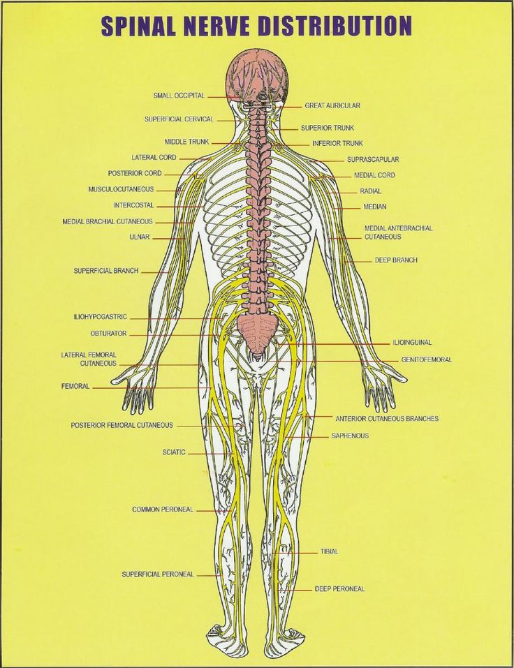 Herbs penetrate nerves spinal cord
