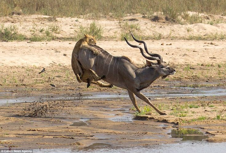 The kudu tried to launch the lion through the air after putting in an almighty buck - but sadly it was not enough http://www.dailymail.co.uk/news/article-2242175/Moment-lioness-slows-fleeing-antelope-launching-back.html