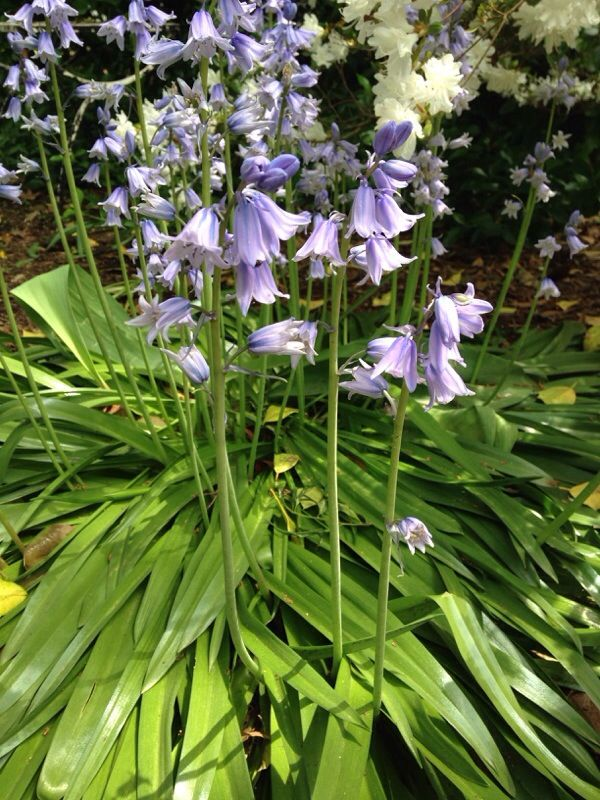 Camas (camassia quamash): This native flower grew so thick in the days of Lewis and Clark that from certain vantage points fields of it looked like lakes. It is an excellent garden subject. It does best in full sun.