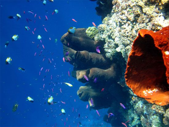 Giant sponge action on the Togean Islands, Indonesia.