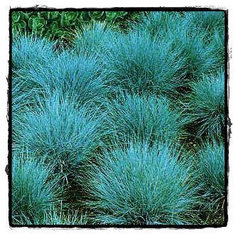 Ornamental Grasses Landscaping | Plant Informational Index: Elijah Blue Fescue Grass