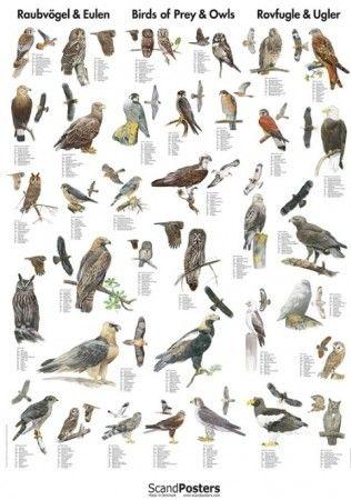 Plakat av rovfugler https://plukkselv.no/butikk/litteratur/natur-plakater