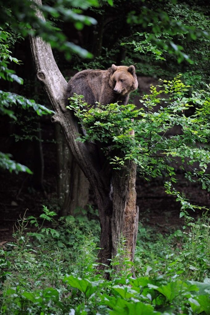 Eurasian brown bear at a bear watching site in Sinca Noua, Piatra Craiului national park, Southern Carpathians, Romania