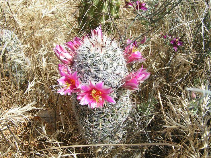 17 Best images about desert flowers on Pinterest | Utah ...