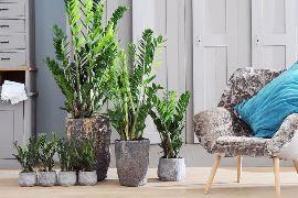 Долларовое дерево: как ухаживать в домашних условиях - Статьи - Интернет-магазин комнатных растений и цветов. Купить цветы в Алматы. Комнатные и горшечные цветы.