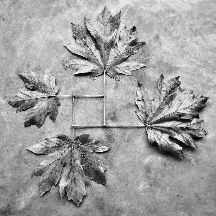 7 best Ahorn images on Pinterest | Blätter, Botanik und Herbst
