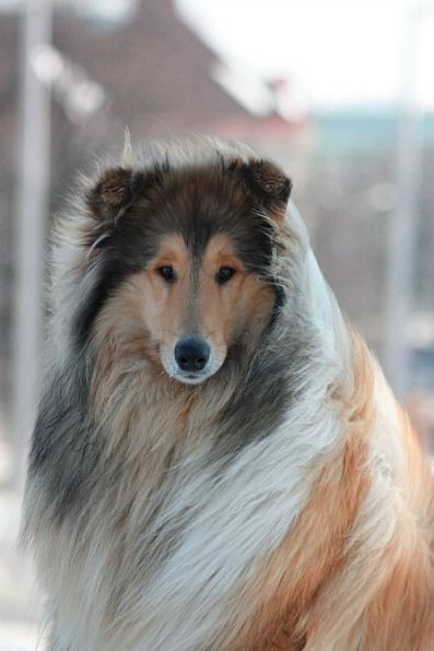 Collie dog art portraits, photographs, information and just plain fun. Also see how artist Kline draws his dog art from only words at drawDOGS.com #drawDOGS http://drawdogs.com/product/dog-art/collie-dog-portrait-by-stephen-kline/