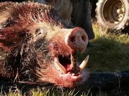 pig hunting new zealand - Google Search