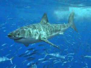 Il grande squalo bianco sarà presto come il tirannosauro: estinto