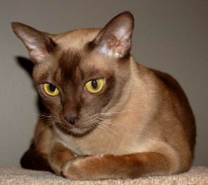 Burmese Cat Breed Profile - Breed Information with Description ... - See more stunning cats at Catincare.com!