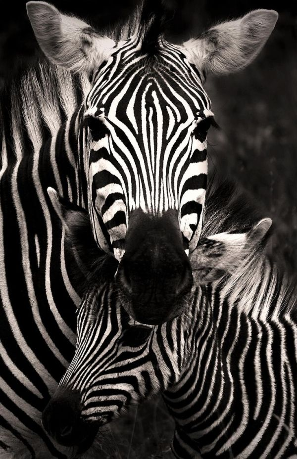 """Africa   """"Zebra Love"""" A mare standing lovingly over her youngster   ©Rudi Hulshof by Hercio Dias"""