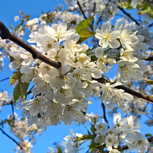 Kukkiva hedelmäpuu  ©maija_muija #pientalojapiha