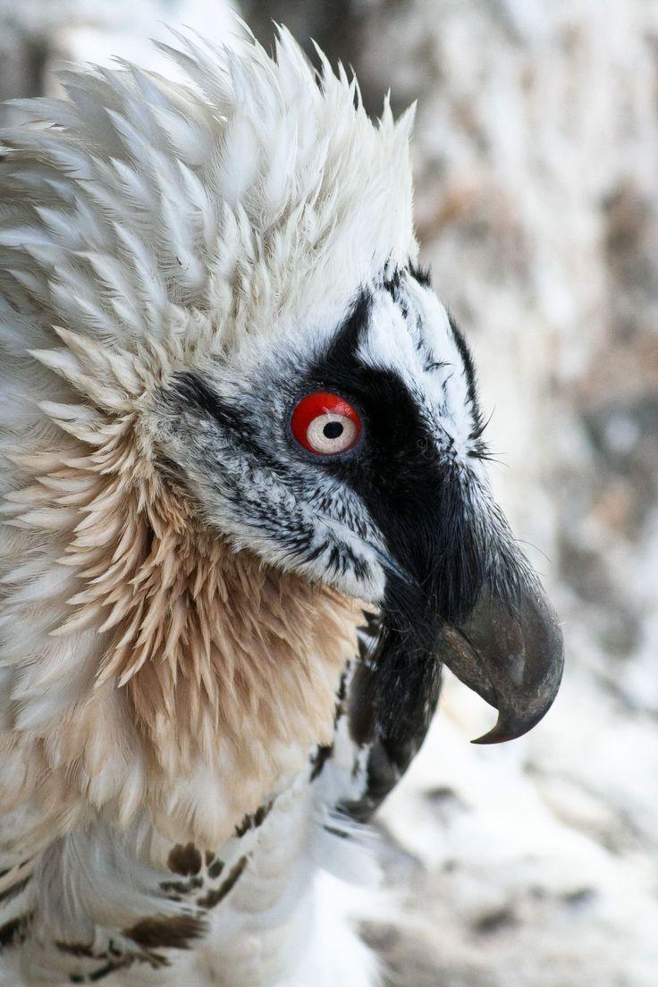 bearded vulture - photo #24
