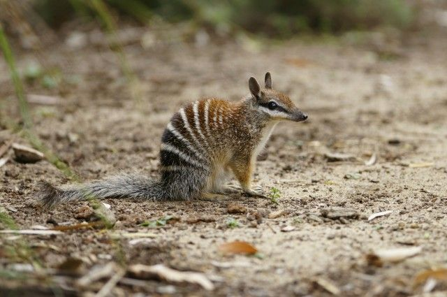 The numbat is one of the many Australian mammals in danger of extinction